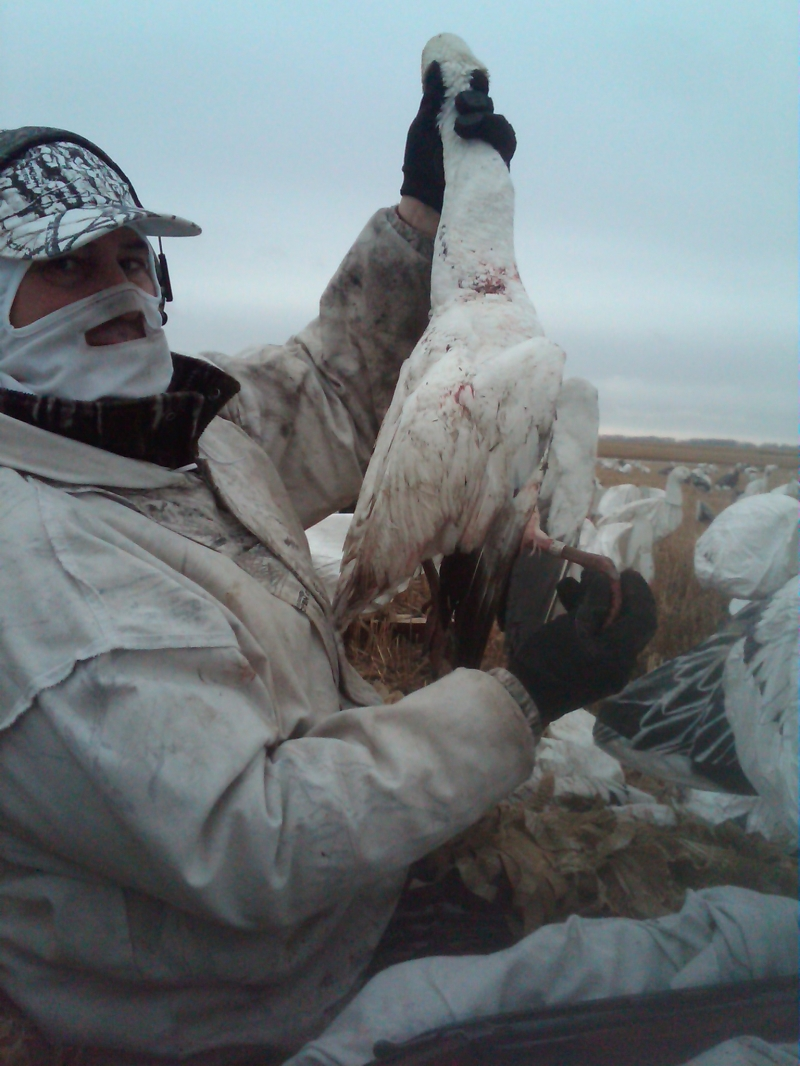 Banded snow goose - spring 2012