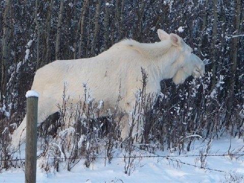 Saskatchewan Snow Moose
