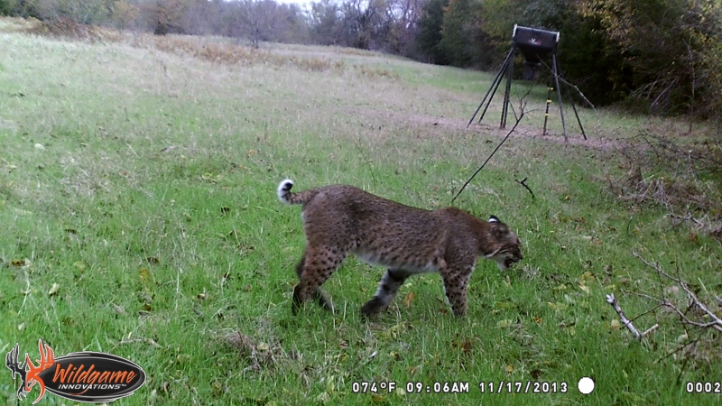 caught this Bobcat on my trail cam