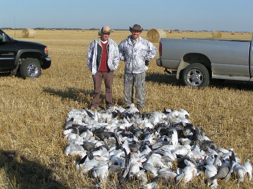 Pile of Snow Geese