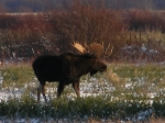 South-Sask Moose