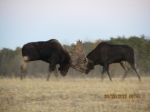 Bull Moose Fight