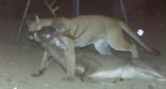 Couger & 8 point