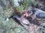 Opening Day Canada Goose